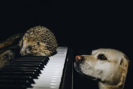 A beautiful little gray hedgehog and labrador is sitting on the piano keys. Music school, education concept, beginning of the year, creativity. Musical instrument, classical, melody. Muzzle close-up