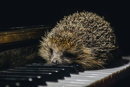 A beautiful little gray hedgehog sits on the piano keys. Piano playing. Music school, education concept, beginning of the year, creativity. Musical instrument, classical, melody. Muzzle close-up