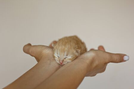 Beige, small, fluffy cute kitten in the hands. One Week Old Newborn Cat with Closed Eyes, Kid Animals and Adorable Cat Concept