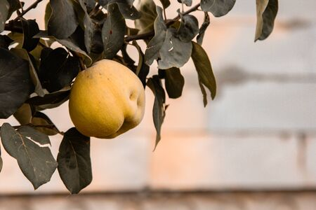 Ripe quince fruit grows in the garden. Fresh lime fruit hanging on a branch. Organic vegetable growing Reklamní fotografie - 137798822