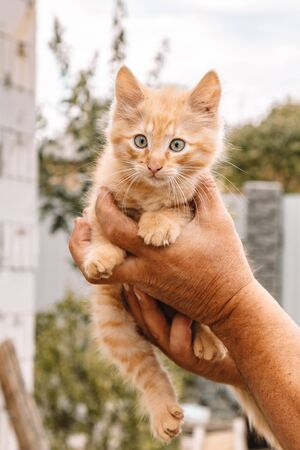 Red Small fluffy kitten from the yard on the background of greenery in the hands. The cat is looking at the camera. Space for text - medicine, pet, animals, vaccination and allergy concept Foto de archivo
