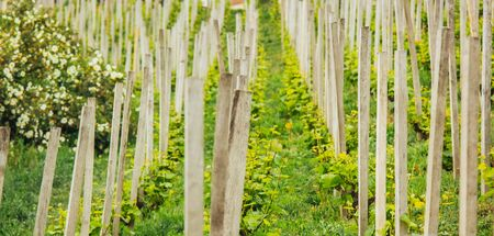 Plantation of grapes bearing vines in spring. Grapevine. Wine growing in the field. Agriculture. Young grapes with leaves. Fruit. Vineyard in early summer time