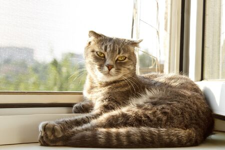 A lop-eared Scottish cat of gray color with bright yellow eyes lies on the window. Basking in the sun, looking at the camera. Cat allergy concept. Pet Care