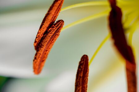 Lily branch close-up in the rays of light on a black background. delicate, white flower. contours of a flower in atmospheric dark photography. flowers for the holiday, advertising, gift, macro photo