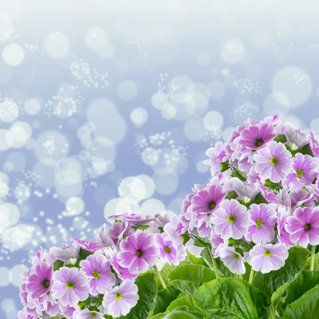 Corner ornament of flowers primula on background glowing bokeh Stock Photo