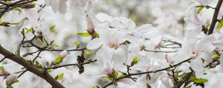 Spring floral banner with white magnolia flowers