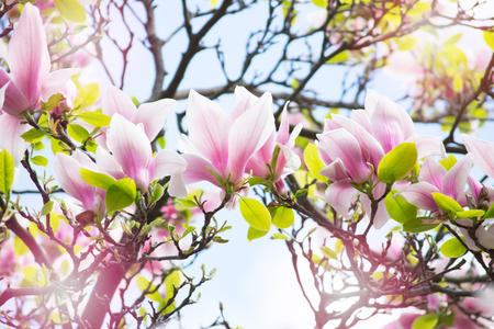 Spring floral background with blooming pink magnolia flowers on a sunny day