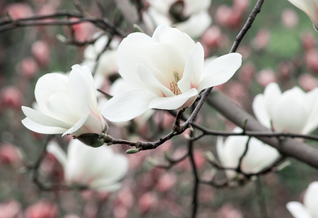 Spring floral background with white magnolia flowers. For this photo applied toning effect.