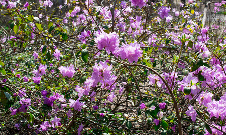 shrubs: Spring bloom of rhododendron flowers