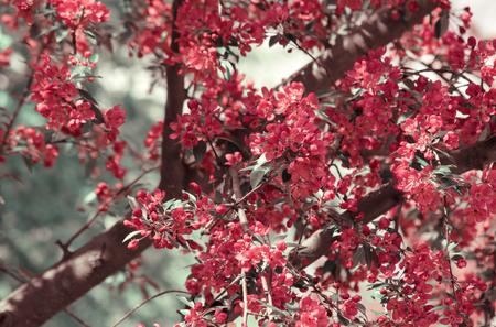 Spring bloom of Sakura tree on blurred background.