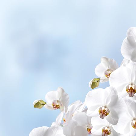 orchidea: White beautiful orchidea on blue background