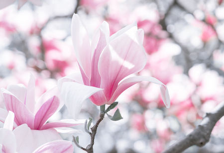 Mysterious spring floral background with blooming pink magnolia flowers Stock Photo