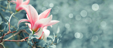 Mysterious spring floral background with blooming pink magnolia flowers and bokeh