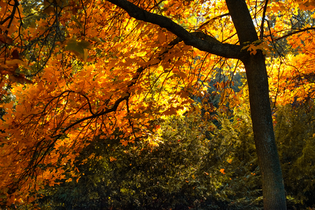 Mysterious autumn forest background with maple tree on a sunny day Stock Photo