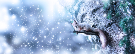 Christmas banner. Funny squirrel (Sciurus vulgaris) sitting on fir tree in forest on snowing background. New Year winter holidays concept. Empty place for photo or text. Copy space.