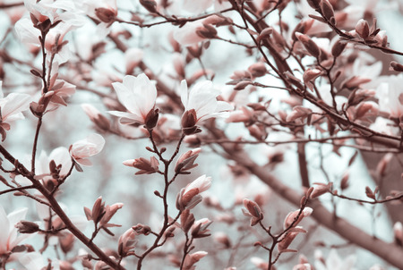 Mysterious spring floral background with blooming white magnolia flowers