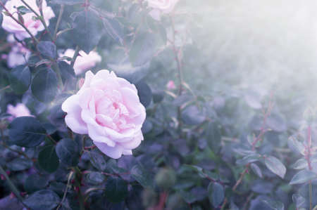 Blooming pink rose flower on fantasy mysterious spring floral blurred blue background and sun rays in morning, soft pastel colors