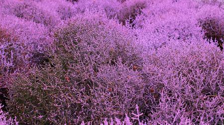 bush dry plant deep purple