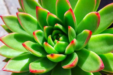 Closeup of succulent green plant cactus. echeveria