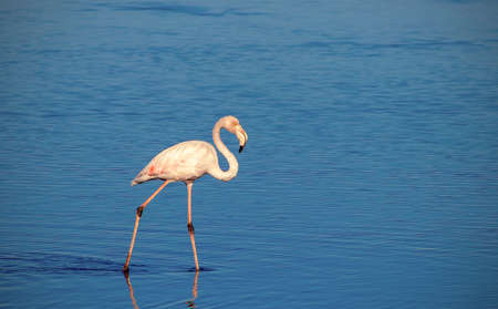 One african white flamingo walking on the blue salt lake. Namibian bird