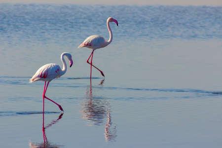 Flock of birds african pink flamingo walking on the blue salt lake of Namibia Imagens