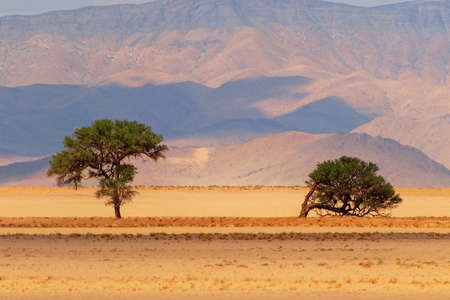 Two trees on a background of sand and mountains in the Namib desert Imagens