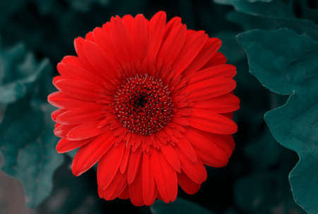 Close-up of a red gerbera flower on a dark background