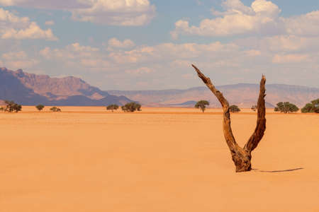 Lonely dead tree in the Namib desert