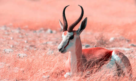 Wild african animals. The springbok (medium-sized antelope) in tall pink grass. Etosha National park. Namibia