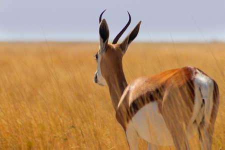 Wild african animals. The springbok (medium-sized antelope) in tall yellow  grass against a blue sky. Etosha National park. Namibia Stock Photo