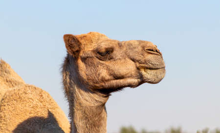 African Camel in the Namib desert. Funny close up. Namibia, Africa