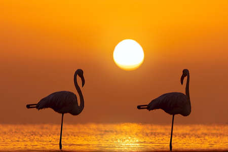 Wild african birds. Silhouette of two flamingos stands in a lagoon against a background of golden sunset and bright sun Foto de archivo