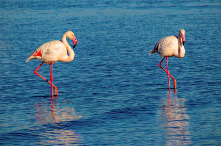 Two birds of pink african flamingo  walking around the lagoon and looking for food Foto de archivo