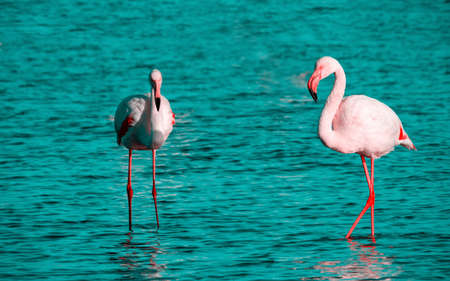 Wild african birds. Two birds of pink african flamingo  walking around the lagoon and looking for food Foto de archivo