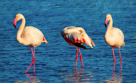 Wild african birds. Group birds of pink african flamingos  walking around the lagoon and looking for food