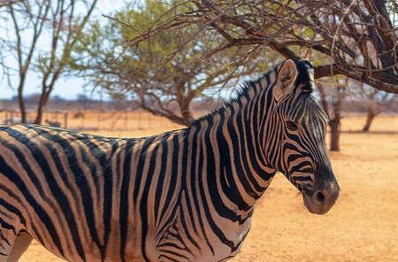 Wild african animals. Zebra close up portrait. African plains zebra on the dry yellow savannah grasslands.