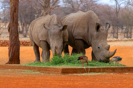 Wild african animals. Portrait of two bull white Rhinos eating grass in Etosha National park, Namibia.