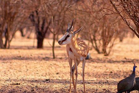 Wild african animals. Game drive safari in Namibia. Springbok close up a species of antelope at sunset light. Etosha National Park, Namibia.