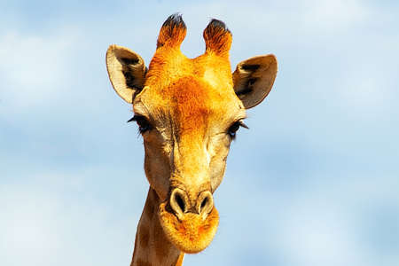Wild african animals. Closeup namibian giraffe on blue sky background