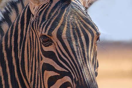 Wild african animals. Zebra close up portrait. Etosha National Park, Namibia. 版權商用圖片