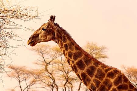 Wild african animals. Closeup namibian giraffe on natural sky background 版權商用圖片
