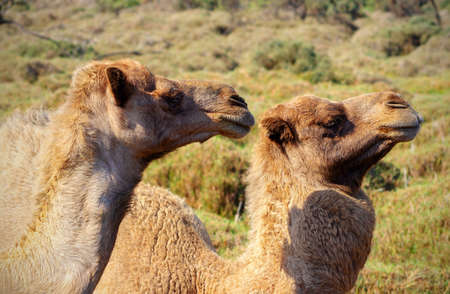 Two happy camels in love outdoors