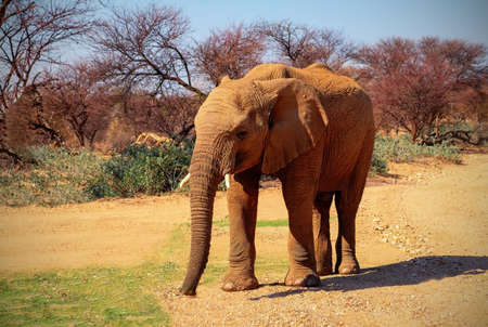 Beautiful Images of of African Elephant. African plains elephan on the dry yellow savannah grasslands.