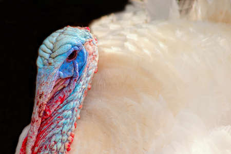 Portrait of a white turkey male or gobbler closeup on a blur  background Stock Photo