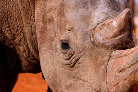 Portrait of a male bull white Rhino grazing in Etosha National park, Namibia.  Wild african animals. Close up of a rhino