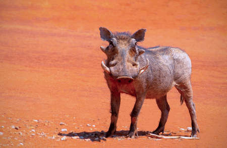 Wild african animals. An common warthog (pumbaa) stands on red earth on a sunny day. A single warthog looks at the photographer in Namibia