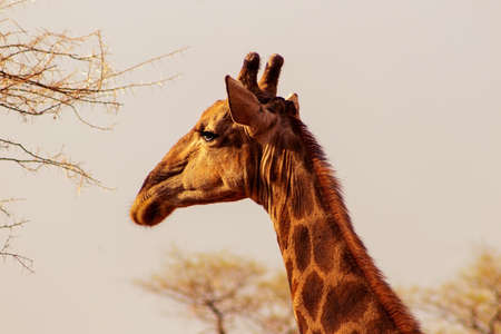 Wild african animals. Closeup South African giraffe or Cape giraffe. The tallest living terrestrial animal and the largest ruminant.