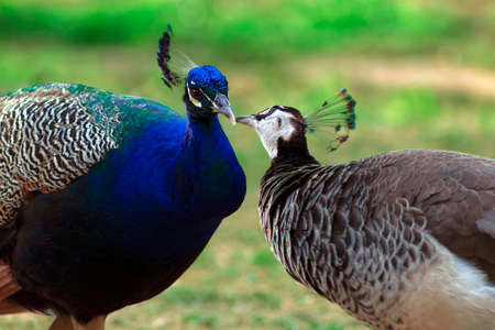 Two cute peacocks; male and female, looking at each other lovingly on a blur background.