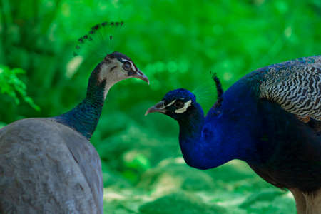 Two cute peacocks; male and female, looking at each other lovingly on a blur green background.