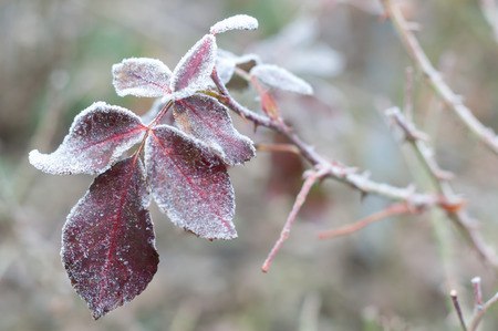 mornings: Rose leaves in hoarfrost stranded on cold mornings Stock Photo